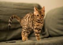 Бенгальская (пятнистая) кошка