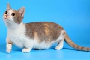 Порода кошек манчкин или карликовая кошка