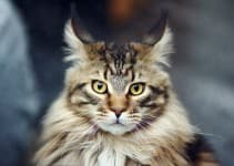 Порода кошек мейн-кун. Кошка-енот