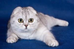 Порода кошек шотландская вислоухая короткошерстная. Кошка скоттиш-фолд