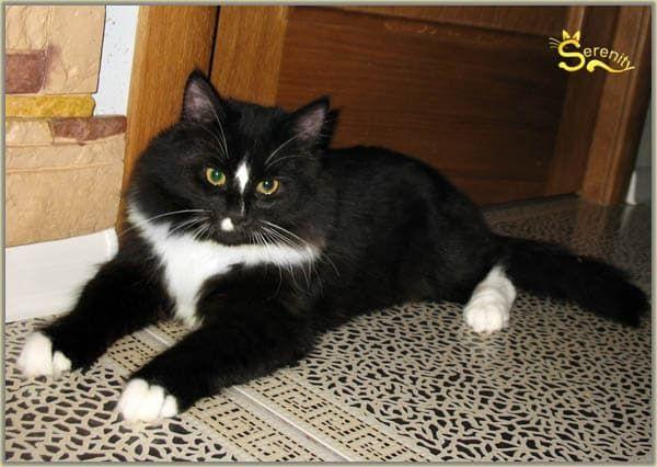 Сибирская кошка черный би колор