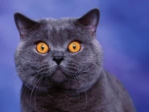 Описание британской короткошерстной кошки