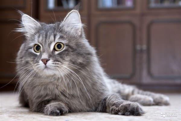 Дымчатая сибирская кошка