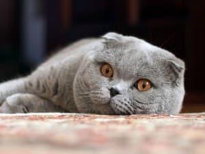 Серый с оранжевыми глазами