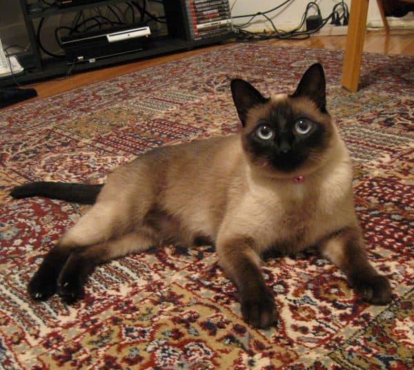 Описание сиамской кошки