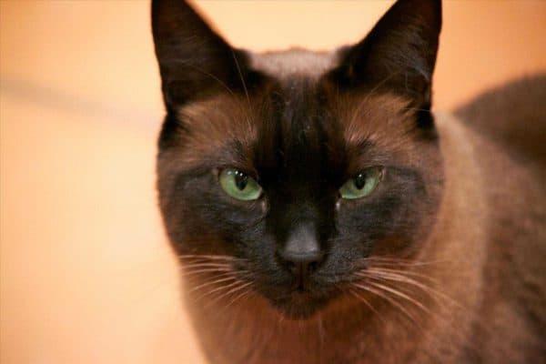 Сиамская кошка шоколадная
