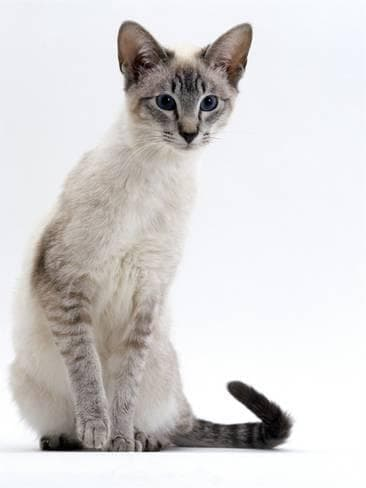 Сиамская кошка тебби