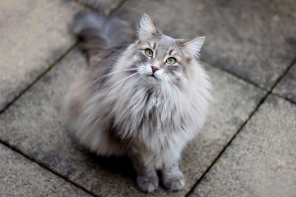 Сибирская кошка на плитке