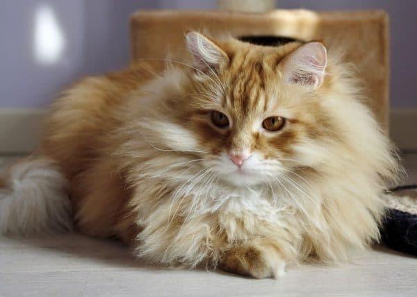 Сибирская кошка на полу