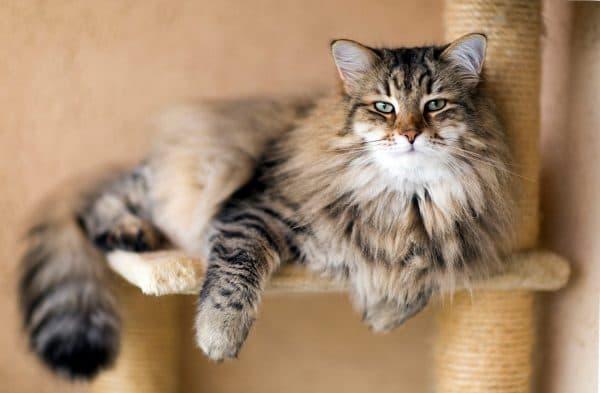 Трехцветная сибирская кошка