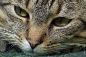 Мастит у кошки: симптомы, лечение