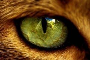 У кошки гноятся глаза. Что делать?