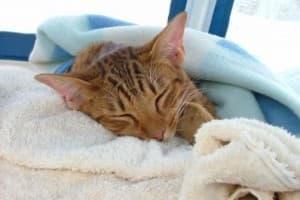 Цистит у кошек: симптомы, лечение