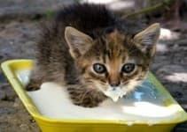 Чем и как правильно кормить котенка