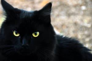 Черная кошка перебежала дорогу. Приметы про черную кошку в доме