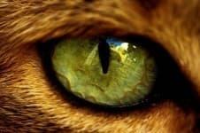 У кошки гноятся глаза. Что делать