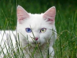 Гетерохромия у кошки