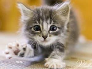 Воспитание шаловливого котенка