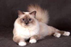 Бирманская кошка