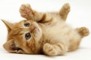 В каком возрасте можно стерилизовать кошку