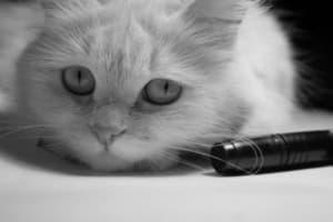 Нотоэдроз у кошек: симптомы, лечение
