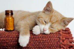Токсоплазмоз у кошек: симптомы, лечение