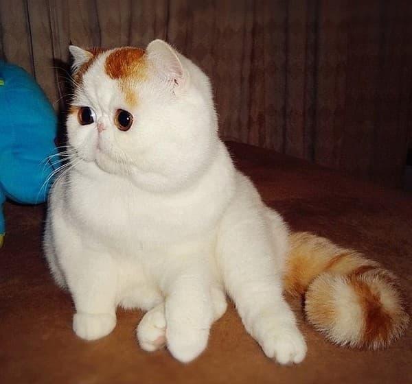 кошки породы экзот цена