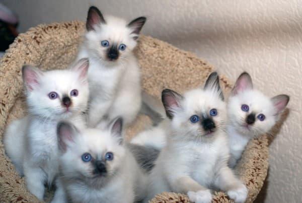 Котята бирмы