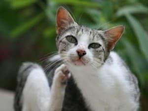 Кошка болеет чесоткой