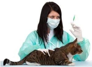 Кошке делают прививку