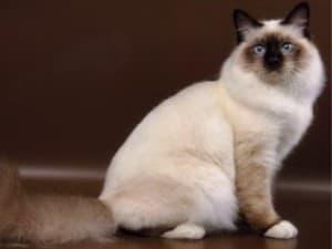 Священный кот