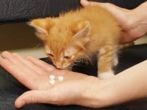 Лечение чумки у кошки