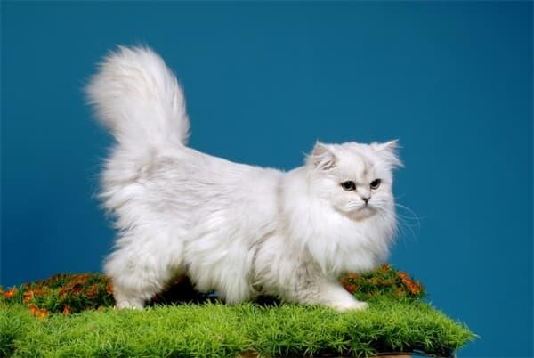 Британская длинношерстная кошка на травке