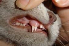 У кошки болят зубы. Что делать