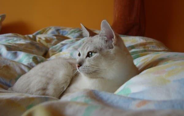 Бурмилла на кровати