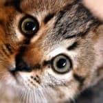 Калифорнийская (сияющая) кошка
