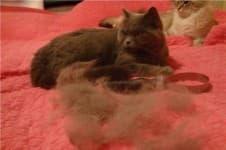 Почему у кошки выпадает шерсть клоками
