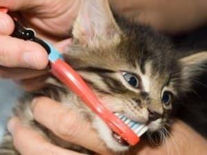 Кошке чистят зубы