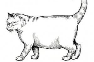 Асцит у кошек: симптомы, лечение