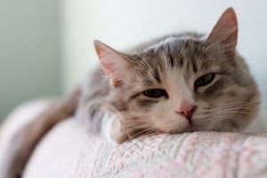 Гастрит у кошки: симптомы, лечение