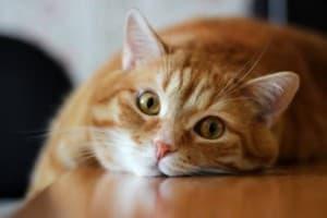 Кастрация котов – плюсы и минусы