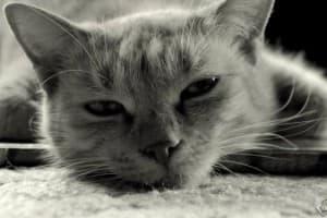 Опухоль (рак) молочной железы у кошки: симптомы, лечение