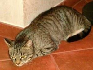Симптомы рака у кошек