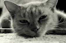 Опухоль (рак) молочной железы у кошки
