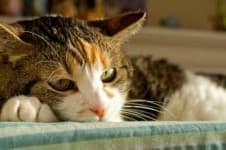 Гепатит у кошек
