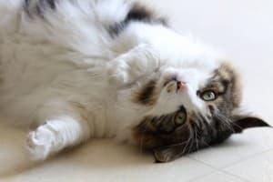 Когда начинается и сколько длится течка у кошки