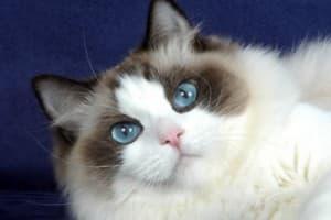 Кошка рэгдолл