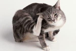 Отодектоз (ушная чесотка) у кошек