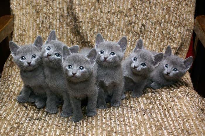 кошек русской голубой породы