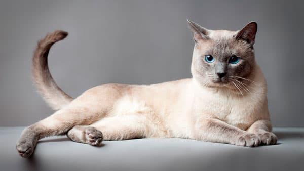 Тайская кошка карамель-поинт